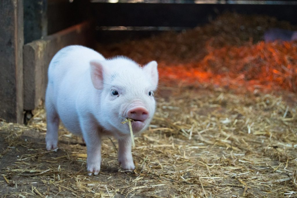 schimpfwörter liste schweinchen